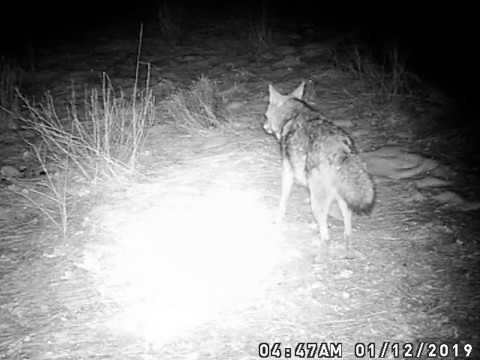 Mr. Coyotes in the Backyard   Backyard, Backyard camping ...
