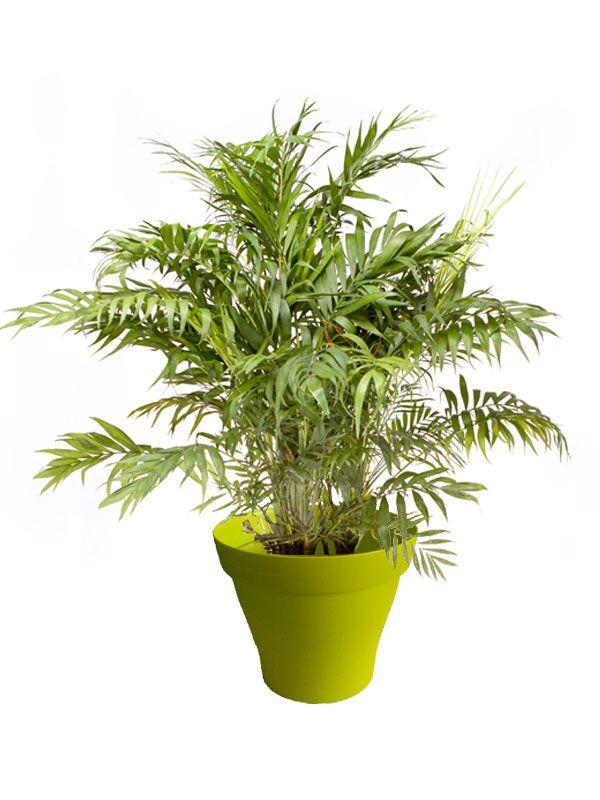 plante interieur chamaedorea