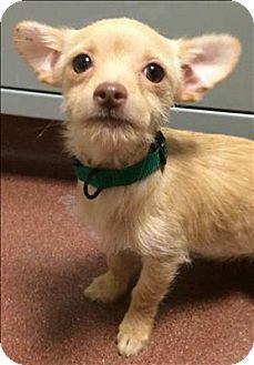 Dublin Ca Norfolk Terrier Chihuahua Mix Meet Lipizzaner A