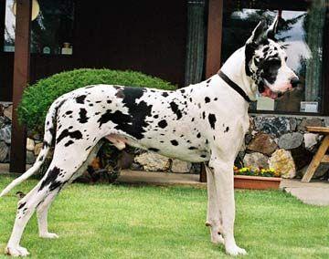 Harlequin Great Dane Certain Great Dane Whites Bred To Black Great