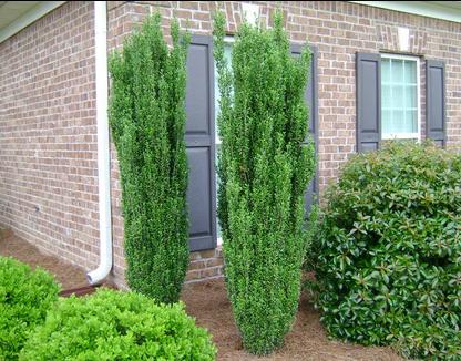 Sky Pencil Grouping Holly Emerald Green Arborvitae Plant Bush