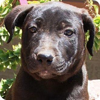 Gilbert Az German Shepherd Dog Mix Meet Sioa A Puppy For