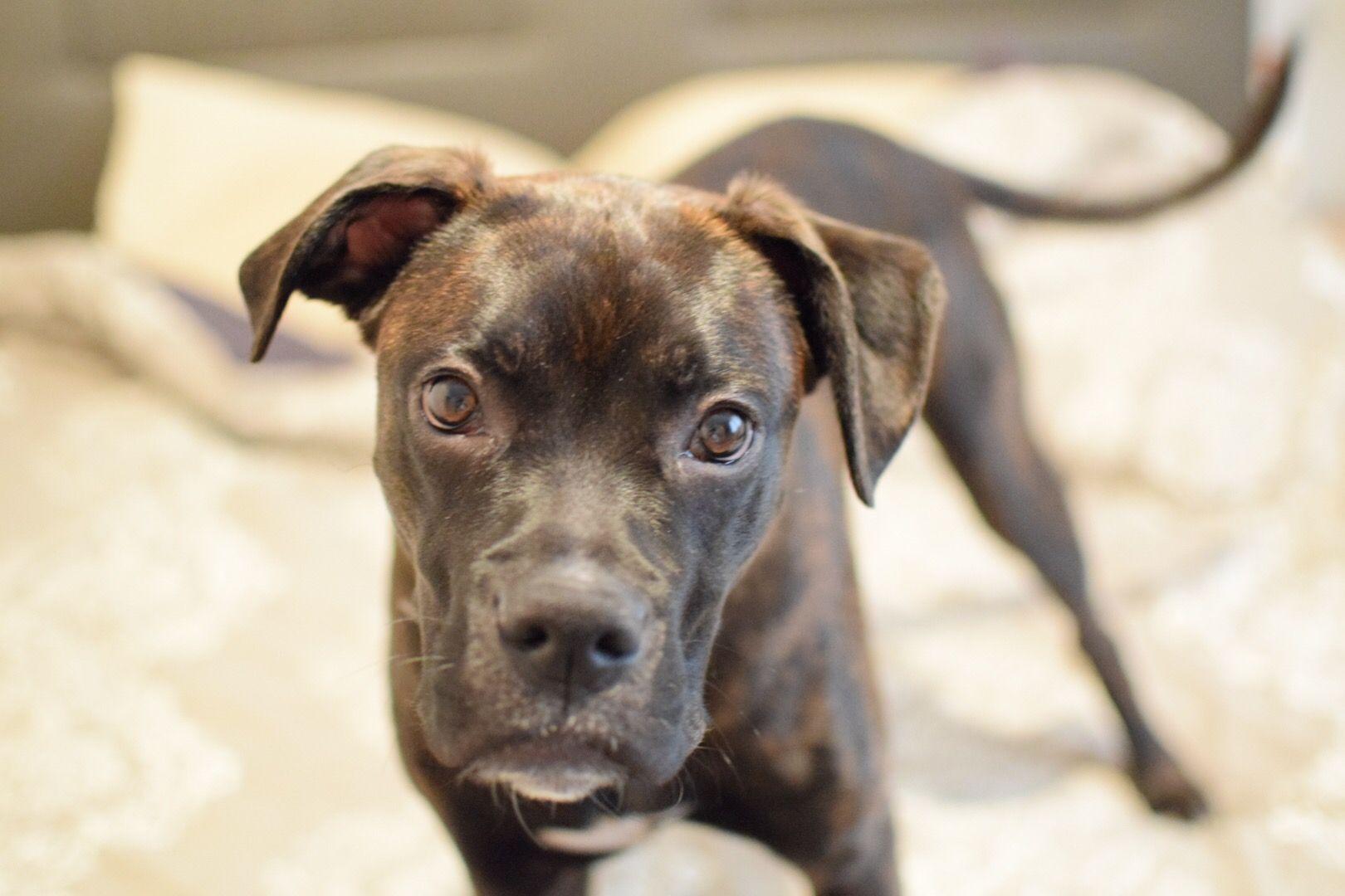 Brindle Boxer Puppy 6 Months Old Brindle Boxer Boxer Puppy
