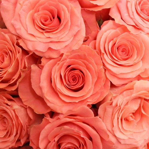 Coral And Pink Wedding Flowers: Amsterdam Hot Coral Pink Rose