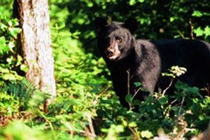 Record number of black bears killed in West Virginia - Outdoor News - January 2013