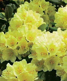 Dutch Gardens: Capistrano Rhododendron