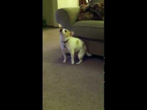 Dog Dancing To Eminem Dog Shaking Funny Dog Videos Eminem