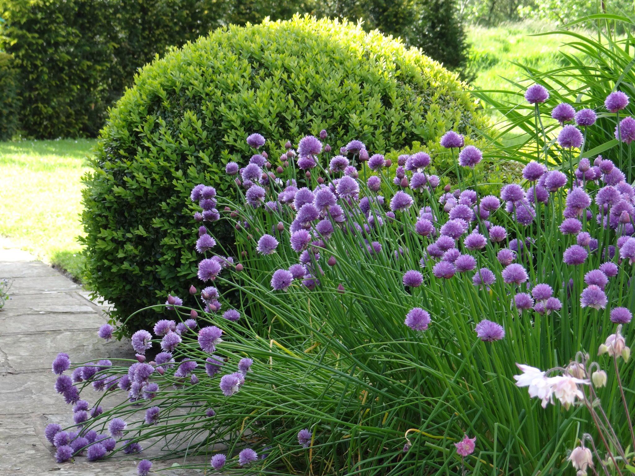 Small area of planting alliums against buxus in cottage for Small area planting ideas
