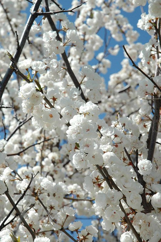 Pin By Erika Smith On Tree Ideas Blossoms Art Ornamental Trees White Gardens