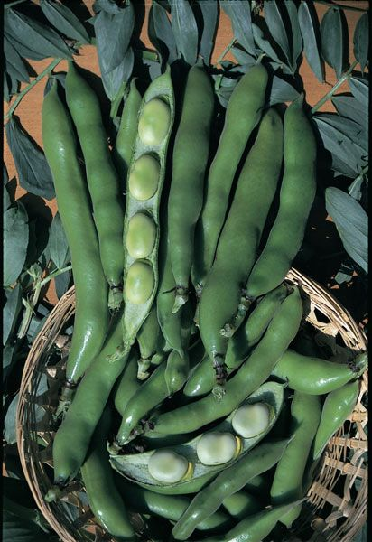 Broad Bean The Sutton A Smaller Variety Of Broad Bean 640 x 480