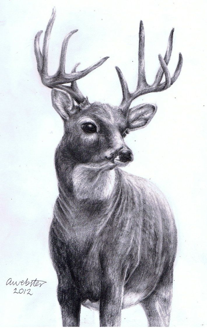 Realistic Deer To Draw Hd inswater