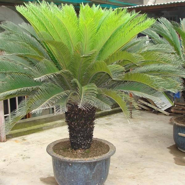 cycas revoluta en pot deco ext rieur pinterest plante interieur plantes et d co fa ade. Black Bedroom Furniture Sets. Home Design Ideas