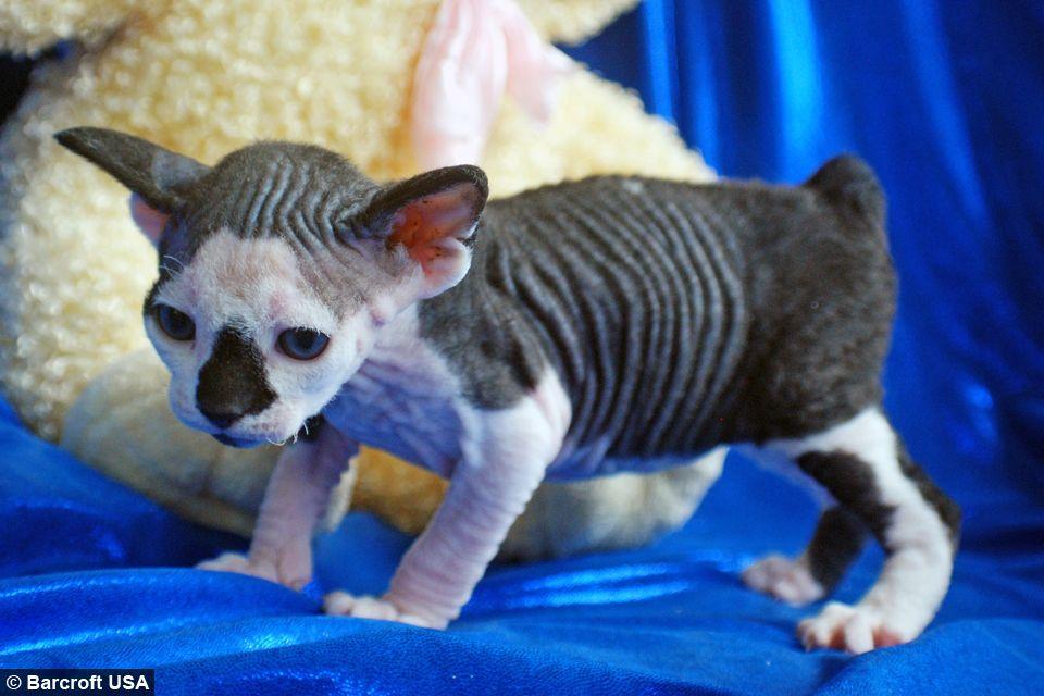 New Cat Species Meet The Hairless Sphynxiebob And Bambob American Bobtail Cat Bobtail Cat Hairless Animals