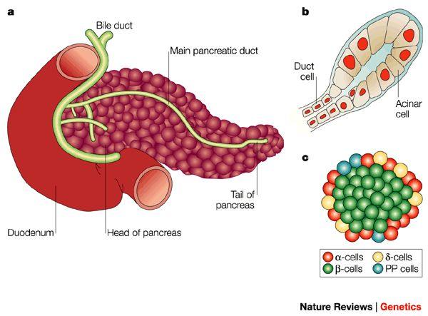 The pancreas /ˈpæŋkriəs/ is a glandular organ in the ...