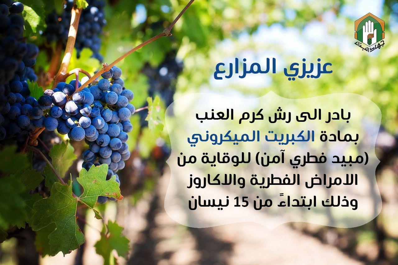 رش كروم العنب Grapes Plants Fruit