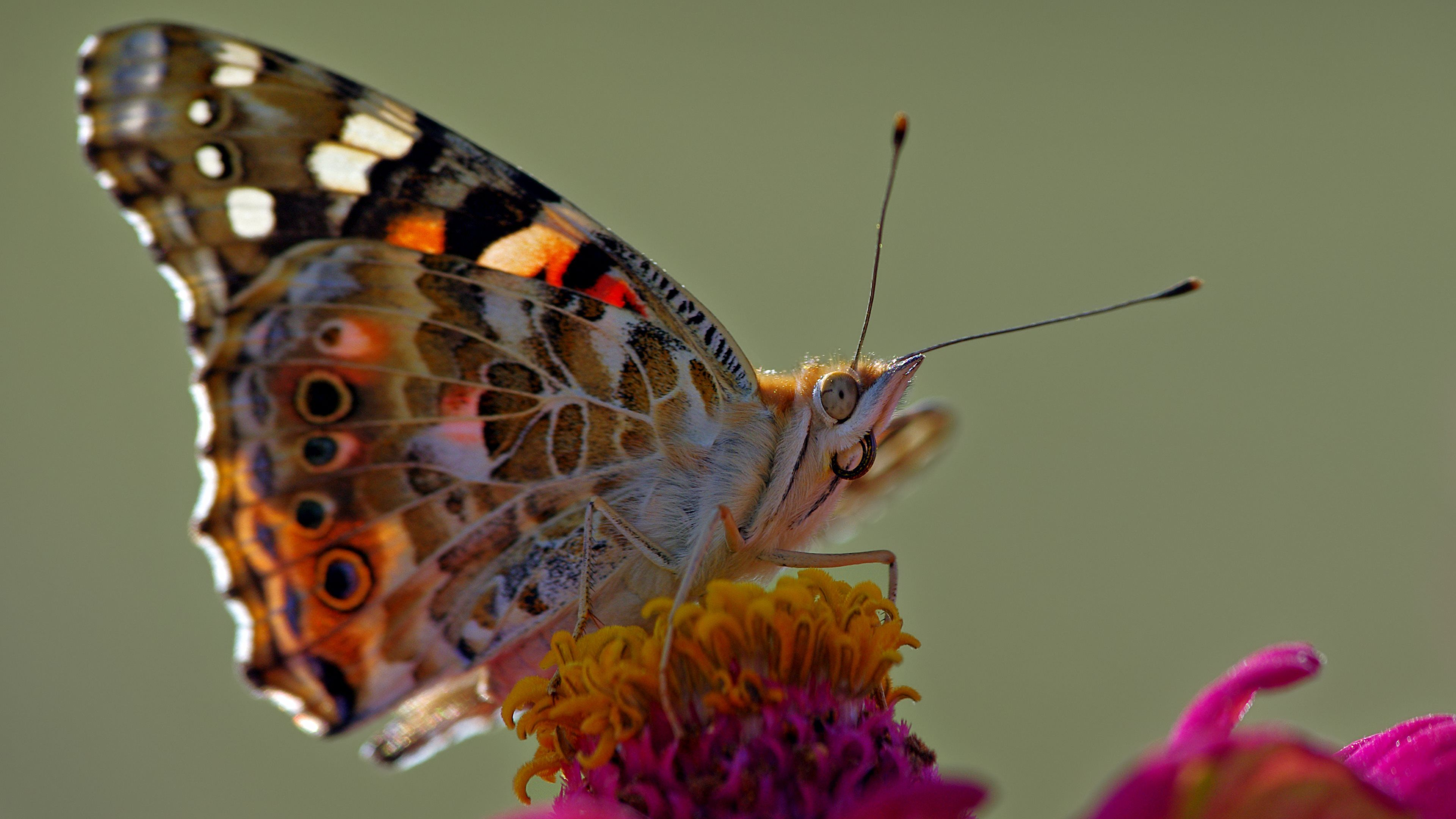 animal - butterfly - nature - hd - color - ultra hd - 4k wallpaper
