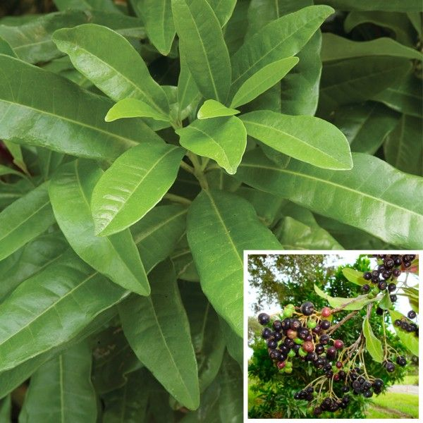 Allspice (Pimenta Officinalis) Native To The West Indies, Allspice Makes An  Excellent Container Plant. Small White Flowers Appear In Spring, ...