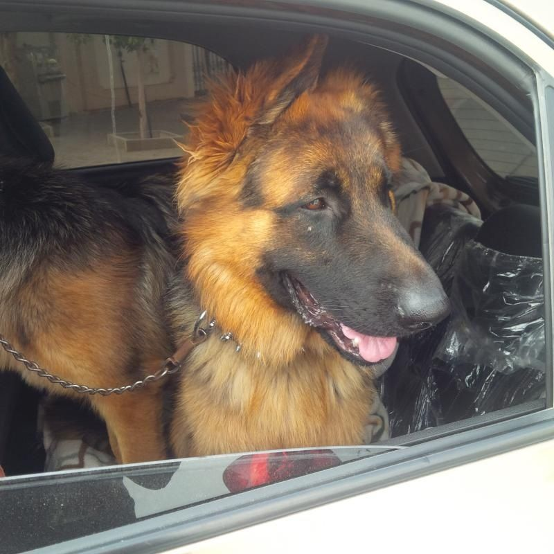 We Are Going Bye Bye A Pair Of German Shepherd Big Puppies