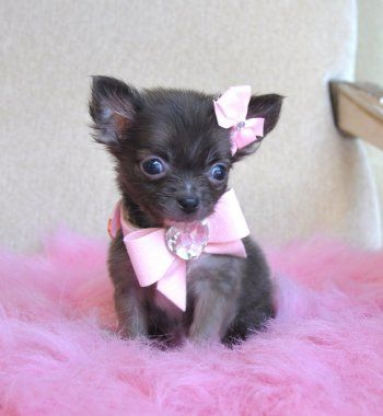 Micro Chihuahuas Home Cute Akc Tea Cup Chihuahua Puppies For