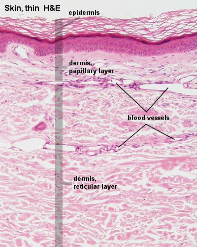 Frog Integumentary System Diagram Blue Histology Integumentary System Anatomy And