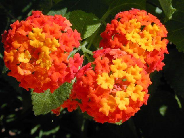 15 Prettiest Native Flowers For Houston Drought Resistant Plants Amazing Flowers Lantana