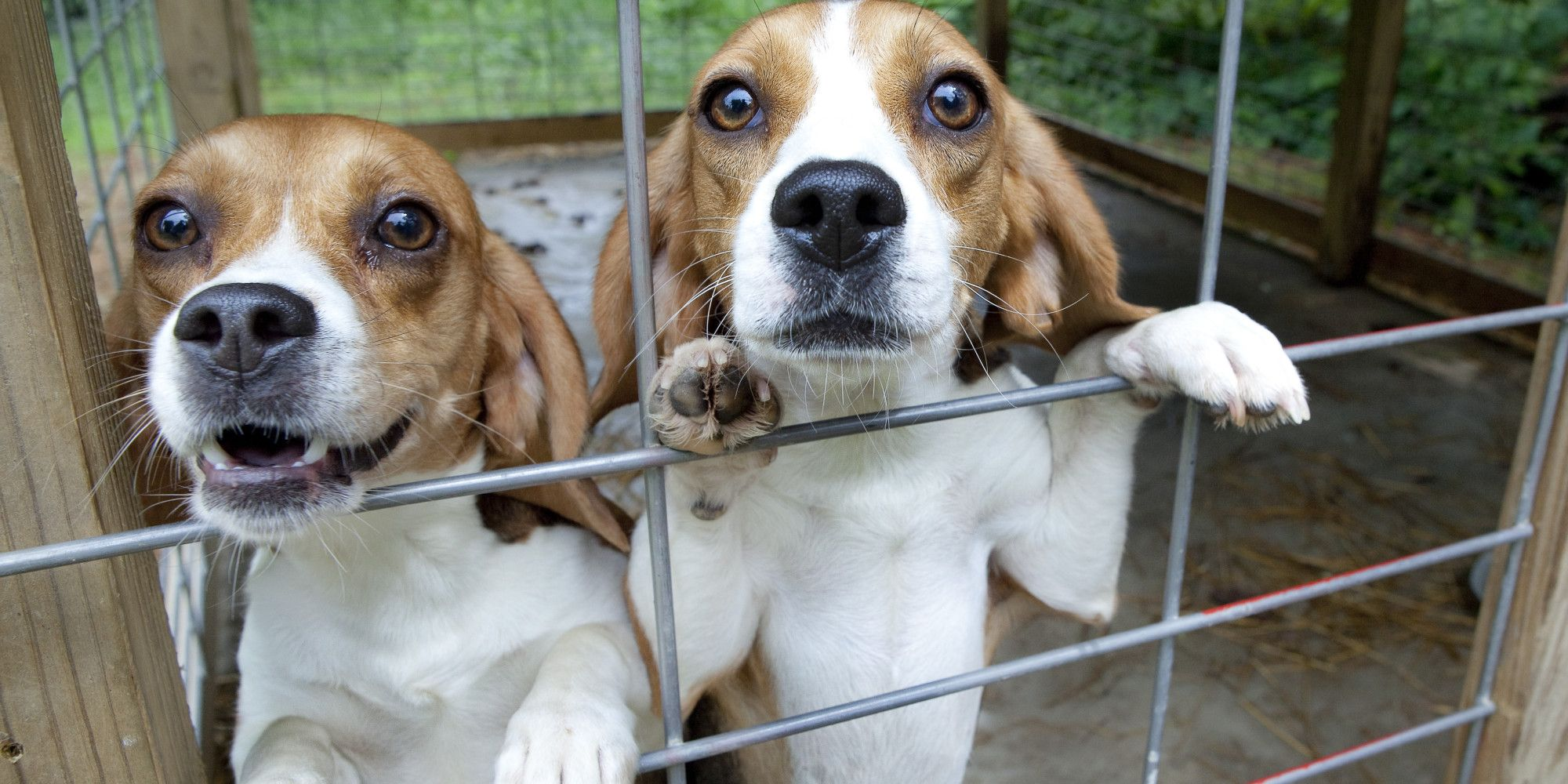 Controversial Yorkshire Beagle Breeding Facility Might Not Go