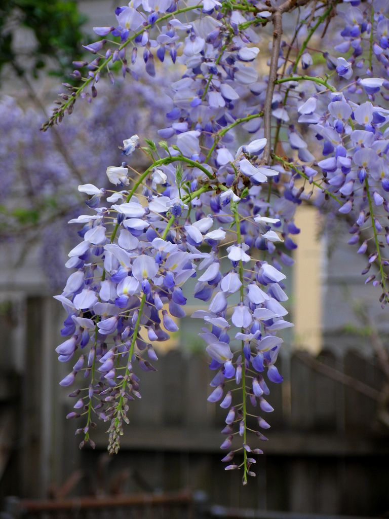 Wisteria Seed Pods How To Grow Wisteria Seeds Wisteria Plant Garden Vines Planting Flowers