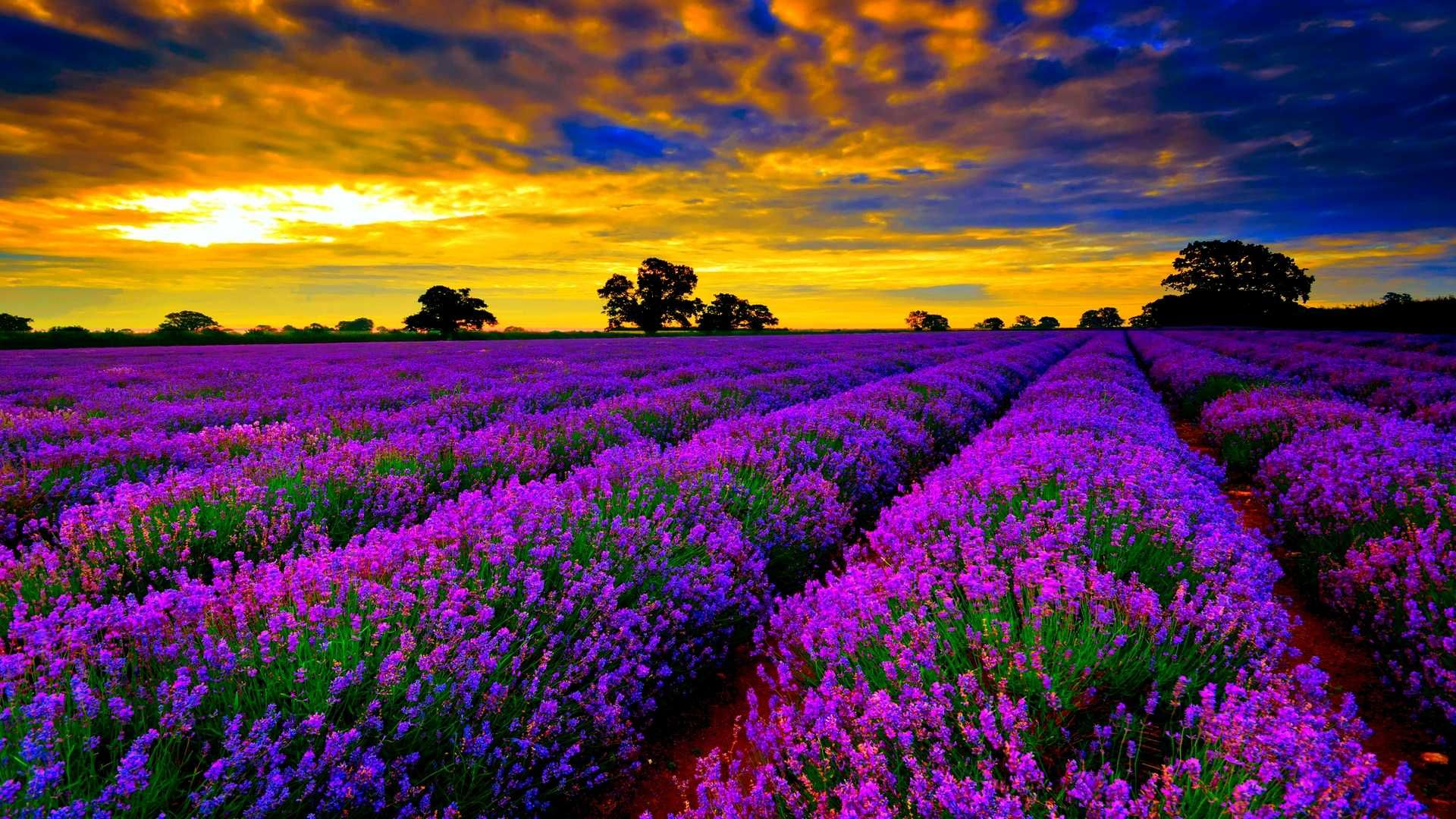Lavender Fields Hd Wallpapers Sunset Wallpaper Lavender Fields France Country Gardening