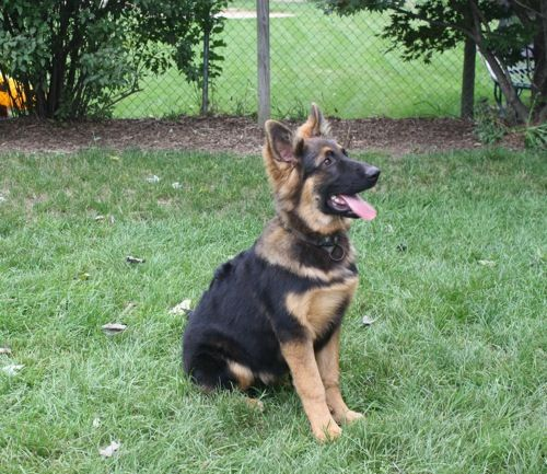 King Shepherd Dog Photo But Now That We Re In Wisconsin In Our