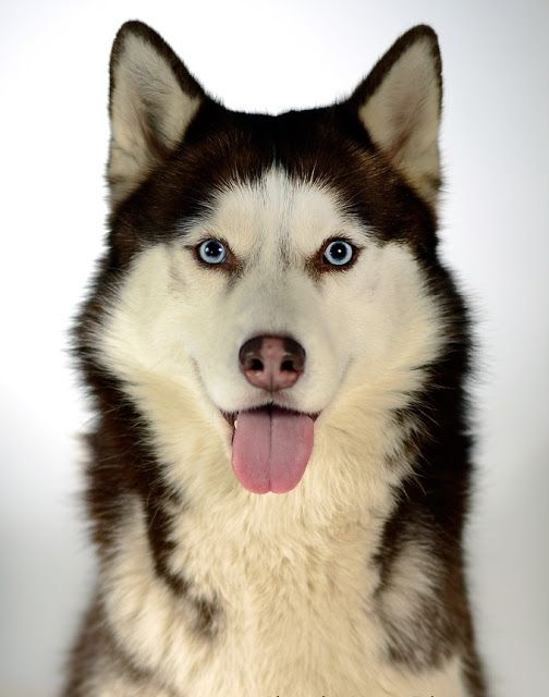 Siberian Husky Dog History Click The Picture To Read Siberianhusky