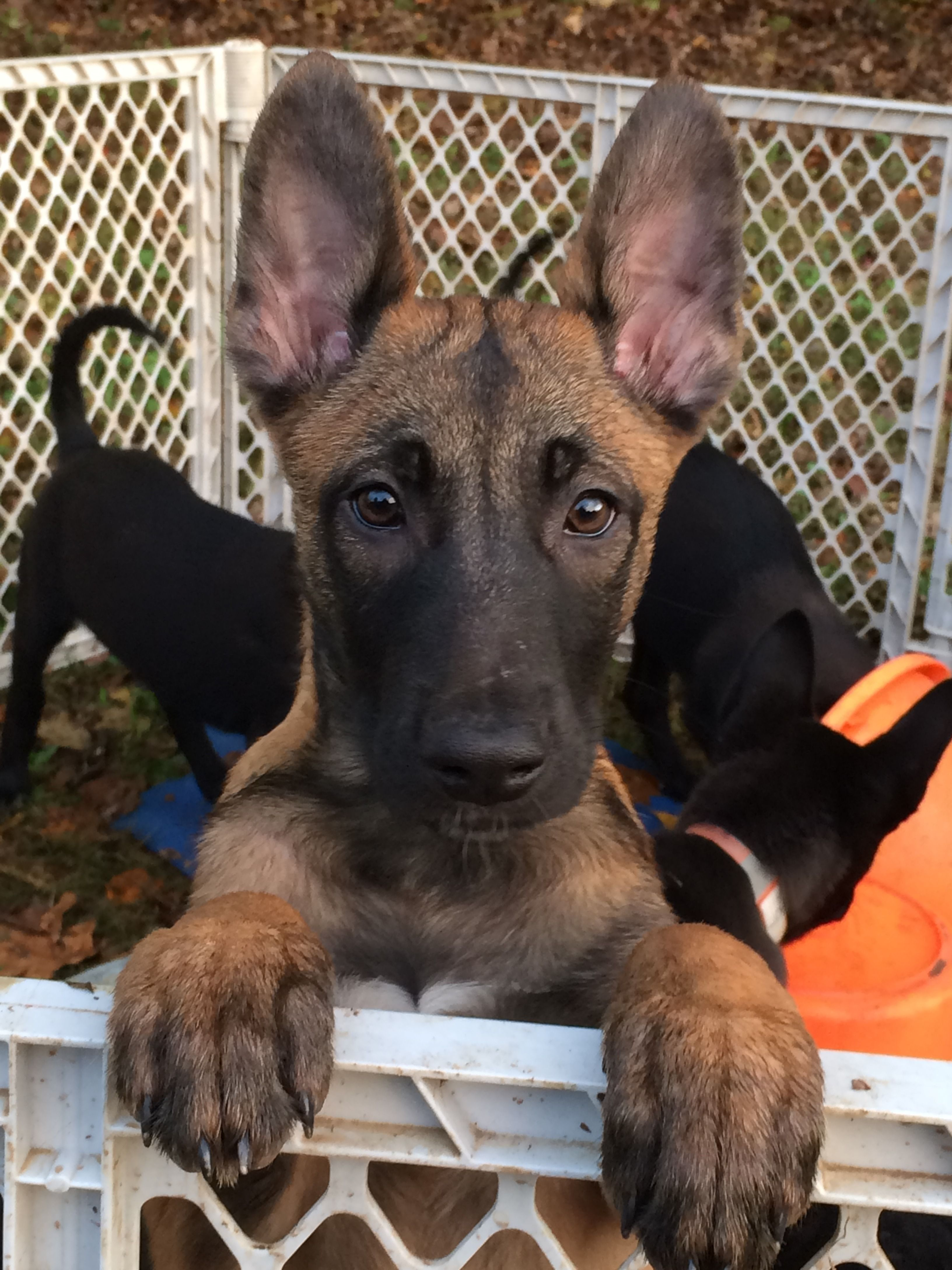 How do I get outta here? | Belgian malinois puppies ...