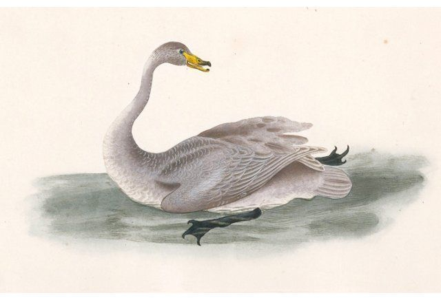 19th-C. Hand-Colored Swan Engraving