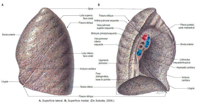 pulmao esquerdo ápice=vertice | anatomia 11 | Pinterest | Anatomía