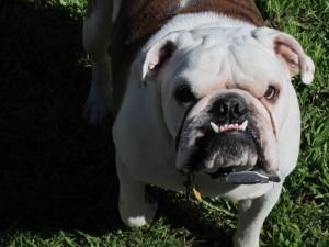 Vader is an adoptable English Bulldog Dog in SCHERTZ, TX. Vader is a two year old sweetheart. He loves all people and dogs. You reach down to pet him and he will roll right over for a belly rub and al...