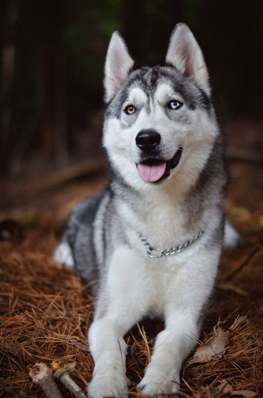 Little Fox Adventures Husky Puppy Dogs Beautiful Dogs