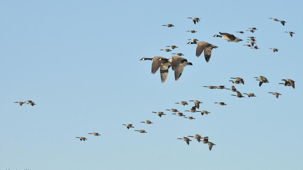 The Basics Of Bird Migration How Why And Where Bird Migration Migratory Birds Why Do Birds