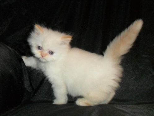 Cfa Male Himalayan Cream Point Kitten With Blue Eyes Animals Funny Cats Cats And Kittens Kittens