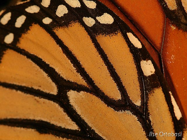 Monarch Butterfly Wing Close Up Monarch Butterflies Photography