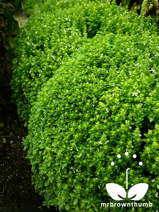 How To Pickle Green Tomatoes Gnome Garden Vegetable Garden Romantic Garden
