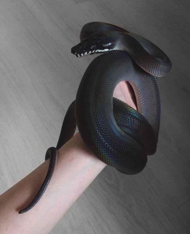 On Com Imagens Cobra De Estimacao Belas Cobras Cobras