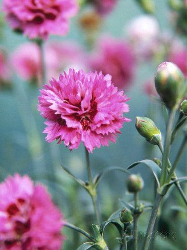 Beautiful carnation flowers pesquisa google carnations beautiful carnation flowers pesquisa google mightylinksfo Choice Image