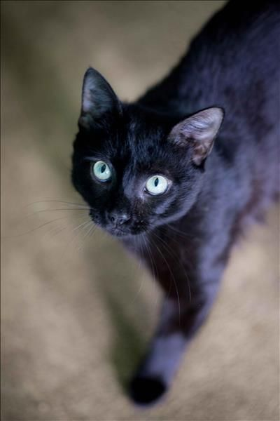 Black Cat With Light Green Or Blue Eyes Black Cat Cats Crazy Cats