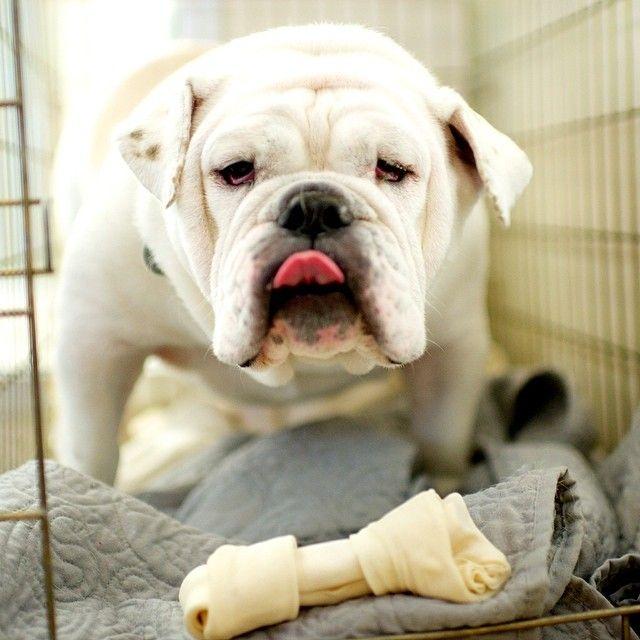 Blu English Bulldog Available For Adoption From Aspca Nyc