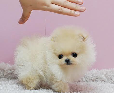 Pomeranian Puppies #cuteteacuppuppies Pomeranian Puppies #cuteteacuppuppies