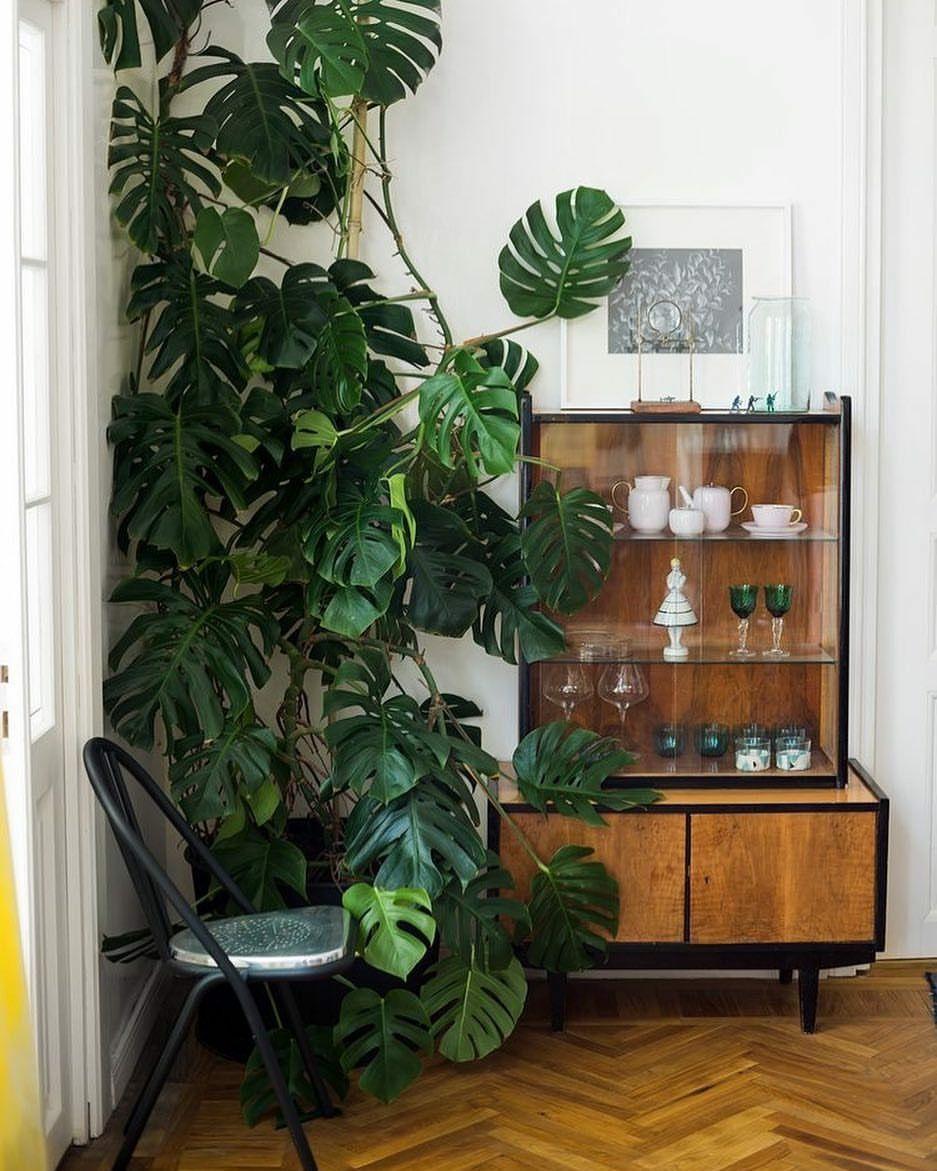 Huge Monstera looks terrific. in 2019 Indoor plants