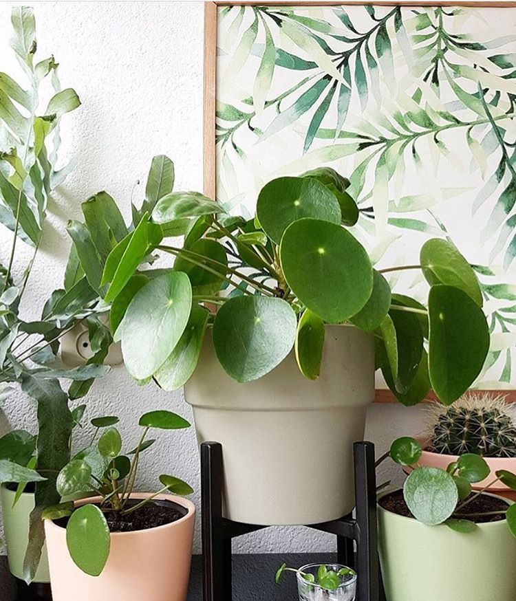 @fijninhuis has the ultra coveted Pilea. #planthunting