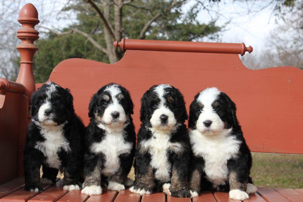 Our Bernedoodles For Sale Namaste Poodles Doodles In 2020 Doodle Puppy Bernedoodle Puppy Poodle