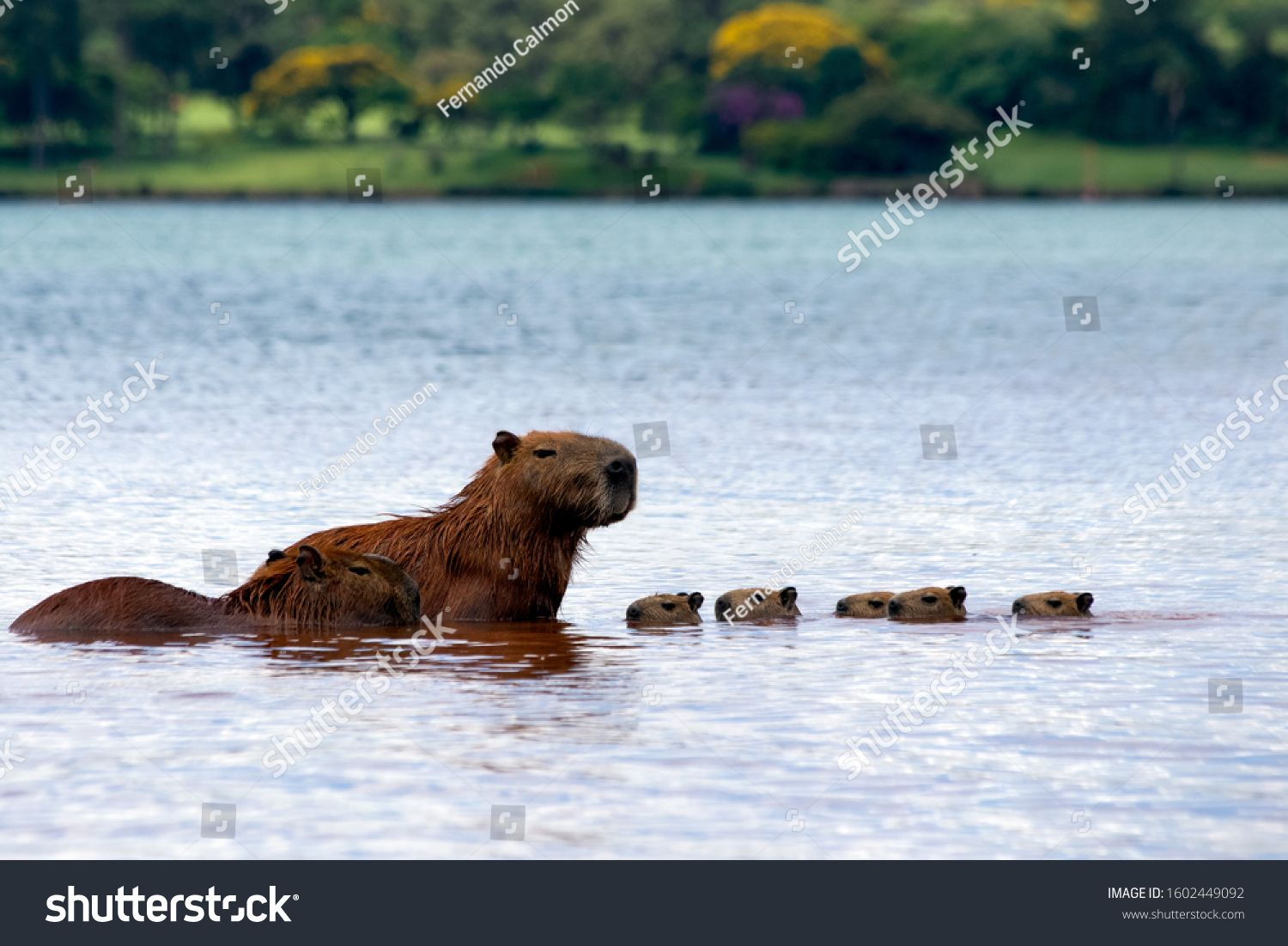 Five capybaras chicks and their parents sunbathing inside Lake Parano¨¢ in Brasilia, Brazil. The capybara is the largest rodent in the world. Species Hydrochoerus hydrochaeris. Animal life. Cerrado #Ad , #Affiliate, #Brasilia#Parano#capybara#Brazil