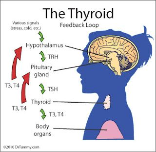 THE THYROID AND THE BRAIN | Thyroid support | Thyroid