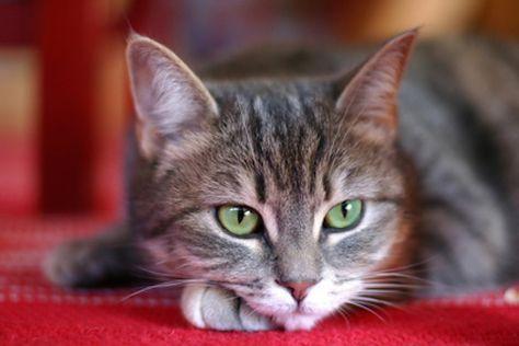 comment se débarrasser des puces du chat ? votre chat se gratte